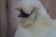 Wuschelhühner (10 von 19)