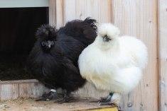 Wuschelhühner (5 von 19)