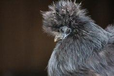 Wuschelhühner (8 von 19)