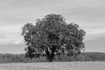 Ein Baum (2 von 3)