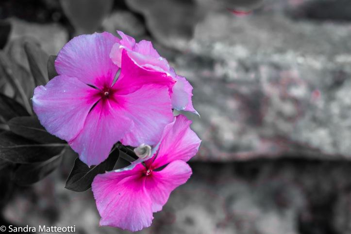 Rosa Blüte-2435